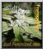 Pheno Finder Fromage Blue 5 Fem Cannabis Seeds